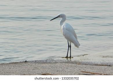 egret walking on lake