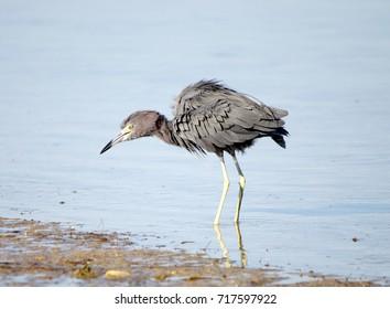 Egret walking Shoreline