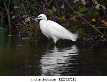 Egret Water Bird