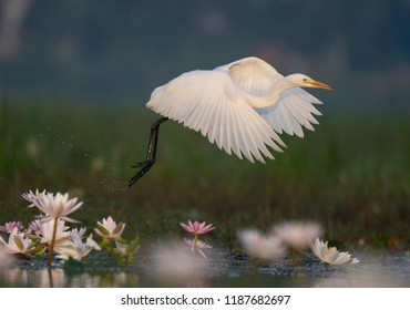 Egret in water lily pond