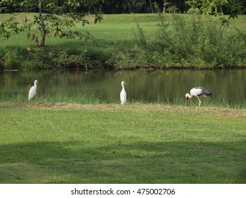 egret and white stork on lawn at water edge in suan rot fai park ,bangkok thailand