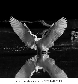 Egret with wide open wings in hunting action in a pond, black and white portrait