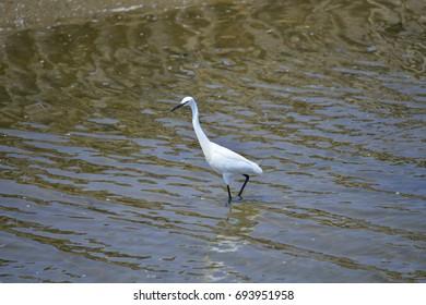 egrets - Shutterstock ID 693951958