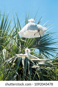 Egrets fighting or playing in trees