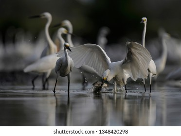 egrets foraging together on the lake