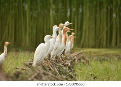 Egrets are herons which have white or buff plumage, and develop fine plumes during the breeding season. Egrets are not a biologically distinct group from the herons and have the same build.