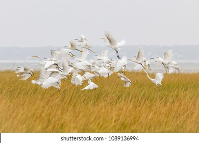 Egrets in Monomoy National Wildlife Refuge