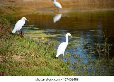 Egrets in the Wetlands