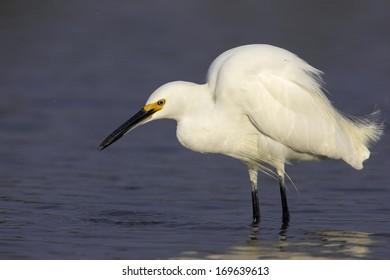 Egretta thula,  Snowy Egret, Everglades National Park