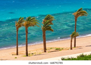Egypt, Dahab. Date palms on the background of the red sea and coral reef. Strong wind. Bright colors