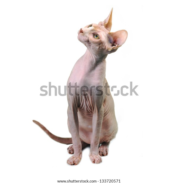 Egyptian bald cat isolated on white