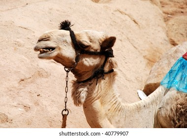 An egyptian camel in the sahara desert.