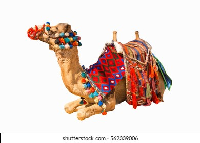 Egyptian decorated camel with saddle isolated on white