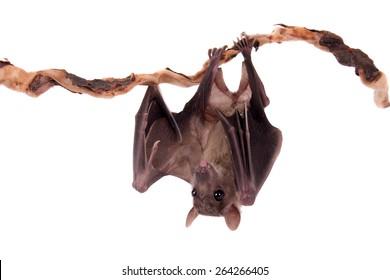 Egyptian fruit bat or rousette, Rousettus aegyptiacus. on white background