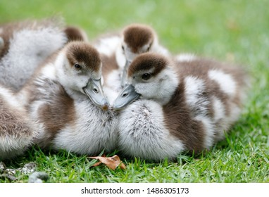 Egyptian Geese are seen in South Africa