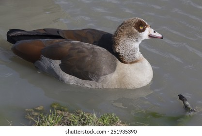 Egyptian goose (Alopochen aegyptiaca)  - Image shot in Bayou Wildlife Park
