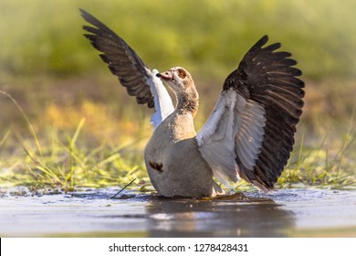 Egyptian goose (Alopochen aegyptiaca) spreading wings and about to fly off from shallow pond. This bird is a problematic invasive specie in much of Europe.