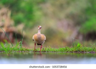 EGYPTIAN GOOSE (Alopochen aegyptiacus) , northern Kwazulu Natal, South Africa.