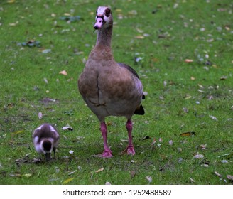 Egyptian goose and baby gosling