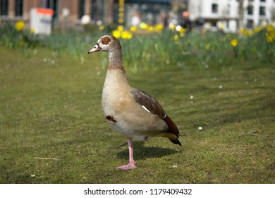 Egyptian Goose with blurred background