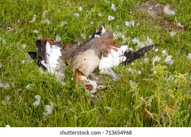 Egyptian goose killed in a fight