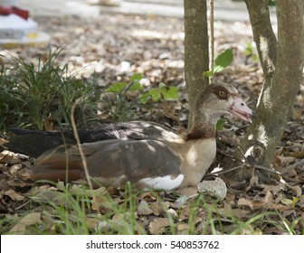 Egyptian goose lying on the ground