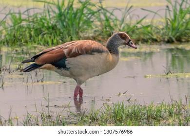 Egyptian Goose in the marsh