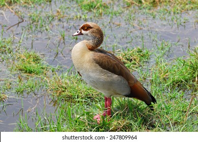 Egyptian goose on an African swamp, Kenya