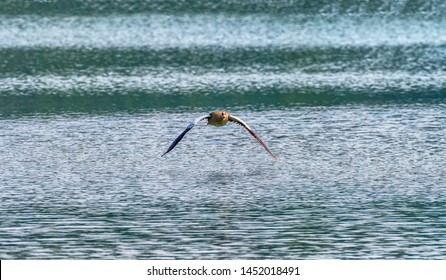 Egyptian Goose on flight, abudhabi