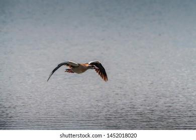 Egyptian Goose on flight, pic taken in abudhabi, uae