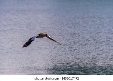 Egyptian Goose on flight on sea area,abudhabi