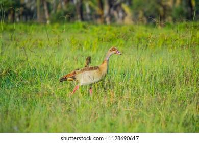 Egyptian goose on green grassland