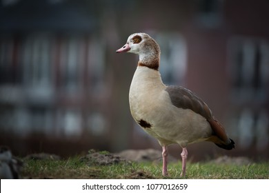 Egyptian goose on the lookout