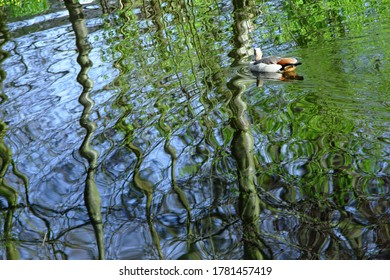 Egyptian goose on mesmerizing rippling water in a forest