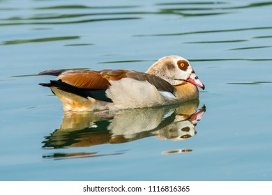 Egyptian goose resting on a river