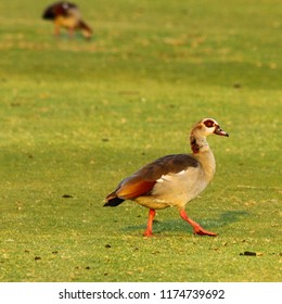 Egyptian goose strutting