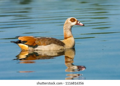 Egyptian goose swimming on a river