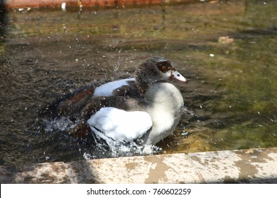 Egyptian Goose swimming and taking a bath in a small pond