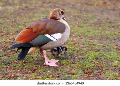 egyptian goose with a tiny little cute fledgling searching for food