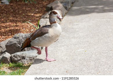 An Egyptian goose walking across a concrete sidewalk in the sunshine with one leg in the air.