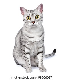 An Egyptian Mau breed cat sitting and looking directly at camera.  White background