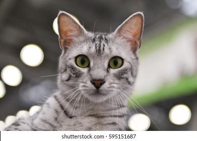 A egyptian mau cat