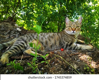 Egyptian mau cat resting in the shade