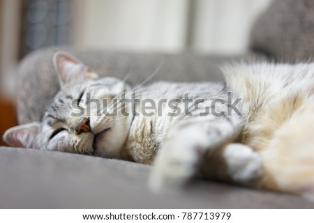 https://image.shutterstock.com/image-photo/egyptian-mau-japan-450w-787713979.jpg