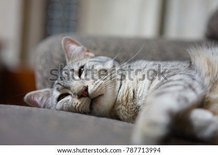 https://image.shutterstock.com/image-photo/egyptian-mau-japan-450w-787713994.jpg