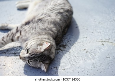 Egyptian mau in rooftop
