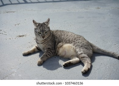 Egyptian mau in a rooftop