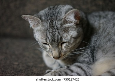 Egyptian mau in a room