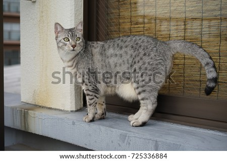 https://image.shutterstock.com/image-photo/egyptian-mau-taken-outside-450w-725336884.jpg