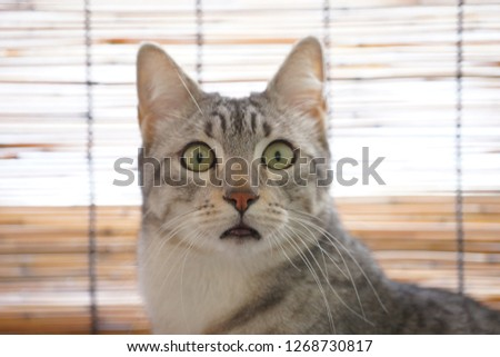 https://image.shutterstock.com/image-photo/egyptian-mau-winter-450w-1268730817.jpg